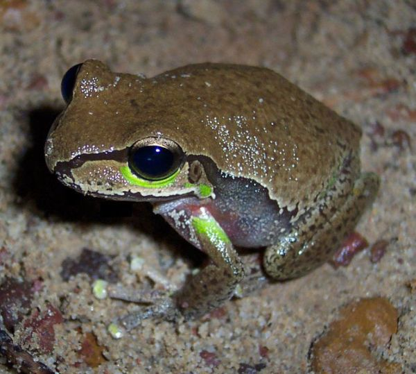 Blue Mountains Tree Frog | Litoria citropa photo