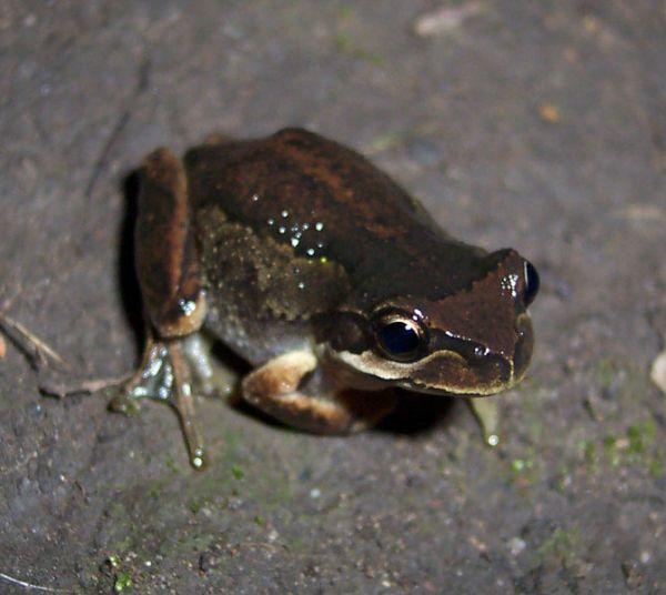 Southern Brown Tree Frog | Litoria ewingi photo
