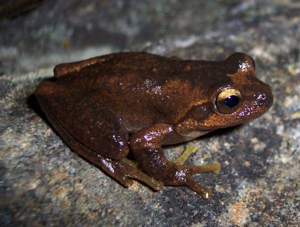Littlejohn's Tree Frog | Litoria littlejohni photo