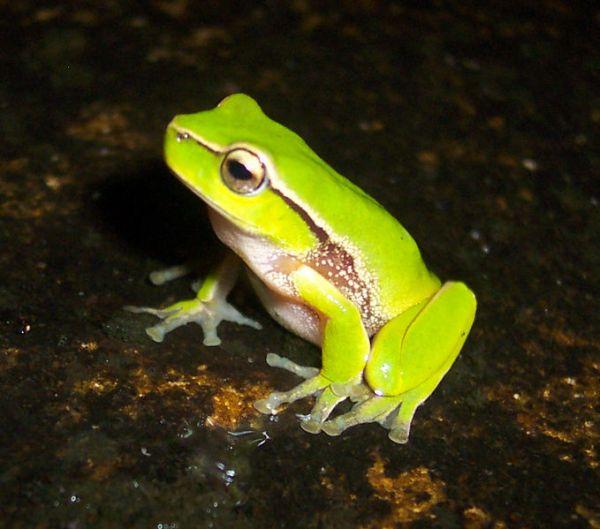 Leaf Green Tree Frog | Litoria nudidigita photo