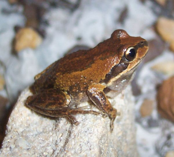 Verreaux's Tree Frog | Litoria verreauxi photo