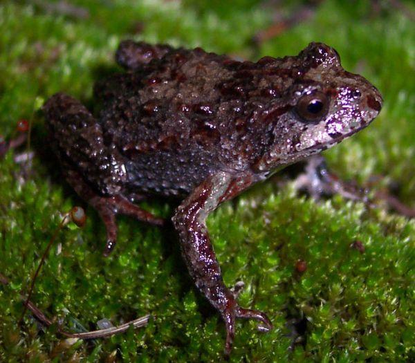Tasmanian Froglet   Crinia tasmaniensis photo
