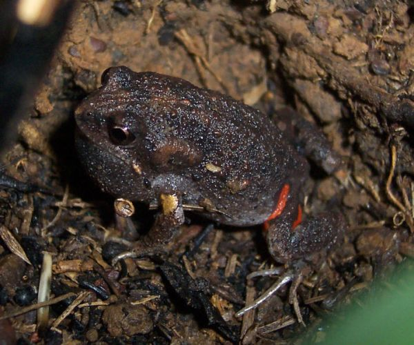 Smooth Toadlet | Uperoleia laevigata photo