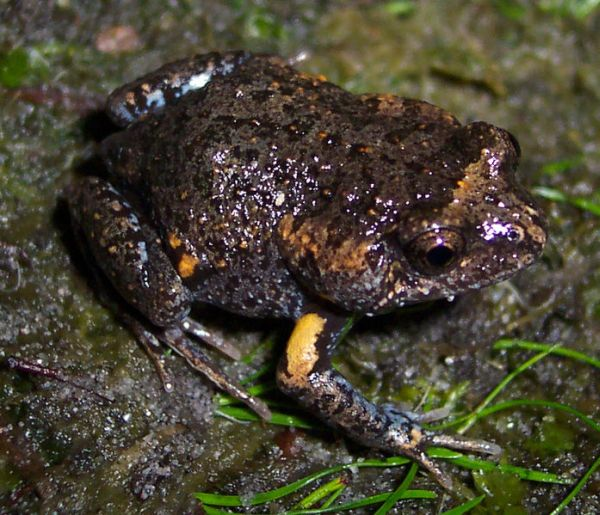 Tyler's Toadlet | Uperoleia tyleri photo