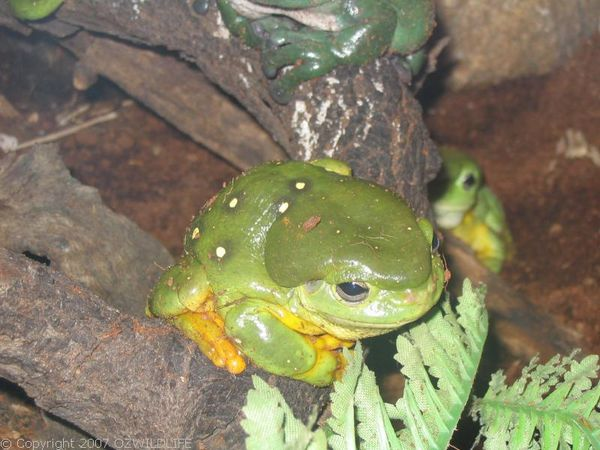 Magnificent Tree Frog | Litoria splendida photo