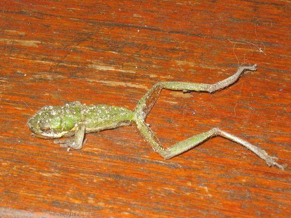 Eastern Dwarf Tree Frog | Litoria fallax photo