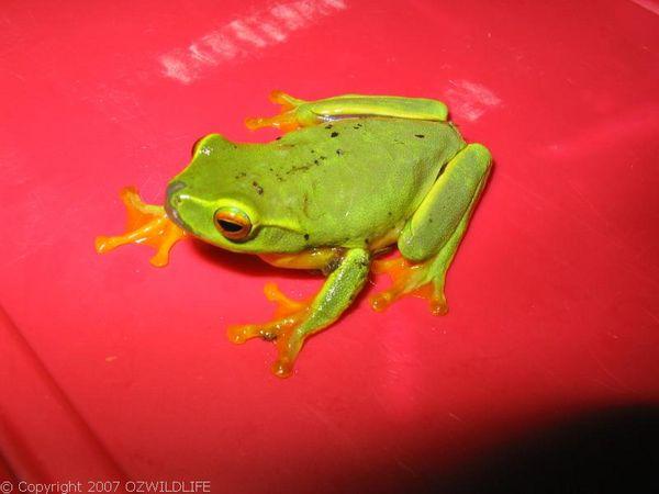 Dainty Tree Frog | Litoria gracilenta photo