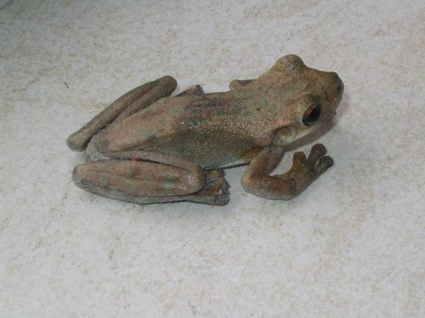 Laughing Treefrog | Litoria tyleri photo