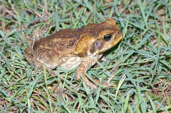 Cane Toad | Bufo marinus photo