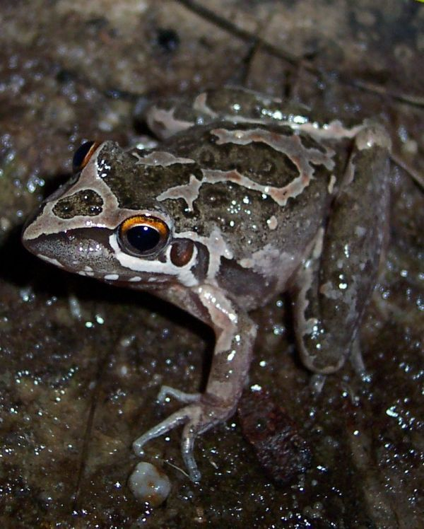 Freycinet's Frog | Litoria freycineti photo