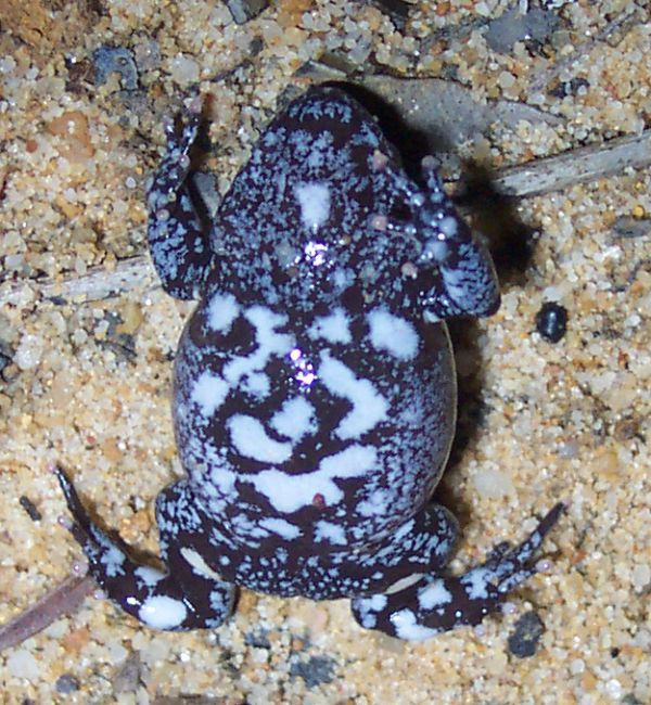 Red-crowned Toadlet | Pseudophryne australis photo