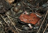 Red-backed Toadlet
