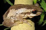 Bleating Tree Frog