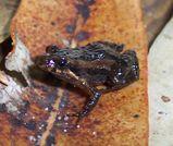 Wallum Froglet