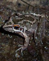Freycinet's Frog