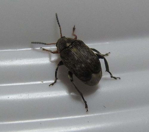 Bean Weevil | Acanthoscelides obtectus photo