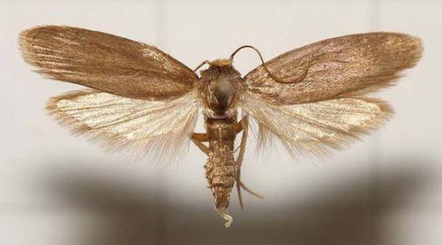 Lesser wax moth | Achroia grisella photo