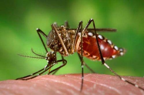 Dengue Mosquito | Aedes aegypti photo