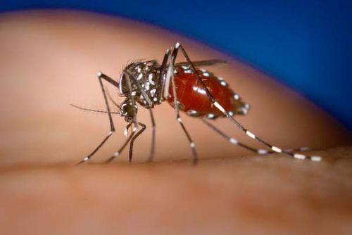 Asian Tiger Mosquito | Aedes albopictus photo