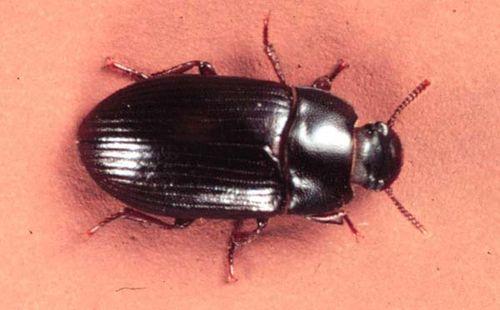 Lesser Mealworm Beetle   Alphitobius diaperinus photo