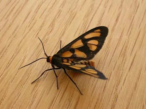 Tiger Moth | Amata trigonophora photo