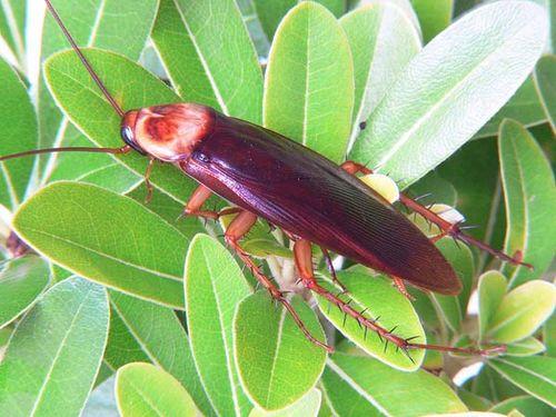 American Cockroach | Periplaneta americana photo
