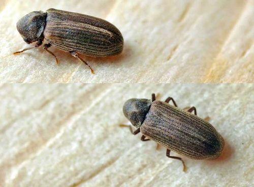 Common Furniture Beetle   Anobium punctatum photo