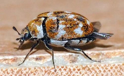 Varied Carpet Beetle | Anthrenus verbasci photo