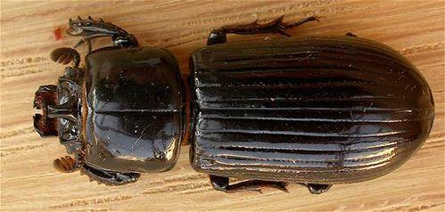 Bess beetle | Aulacocyclus edentulus photo