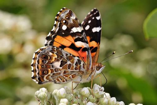 Australian Painted Lady | Vanessa kershawi photo