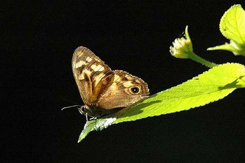 Bank's Brown Butterfly | Heteronympha banksii photo
