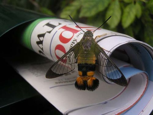 Bee Hawk Moth | Cephonodes kingii photo
