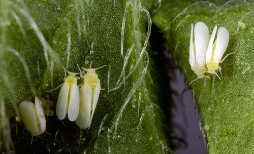 Silverleaf whitefly | Bemisia tabaci photo