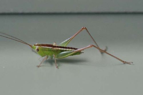 Blackish Meadow Katydid | Conocephalus semivittatus photo
