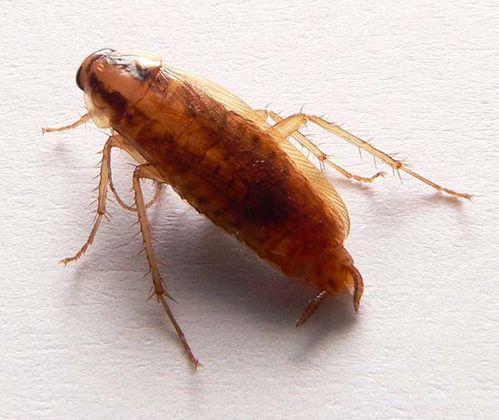 German Cockroach   Blattella germanica photo