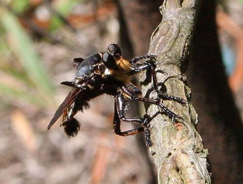 Giant Blue Robber Fly | Blepharotes splendidissimus photo