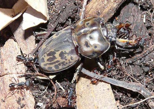 Brown Stag Beetle | Rhyssonotus nebulosus photo