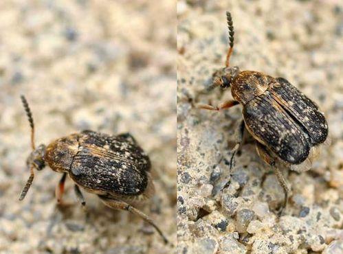 Pea Weevil   Bruchus pisorum photo