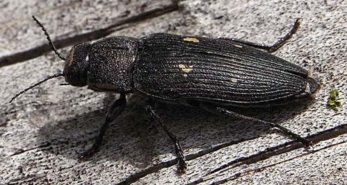 Painted Jewel Beetle | Buprestis novemmaculata photo