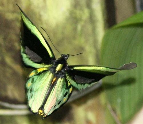 Cooktown Birdwing, Northern Birdwing | Ornithopter euphorion photo