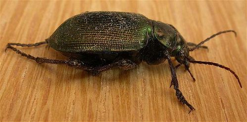 Green Carab Beetle | Calosoma schayeri photo
