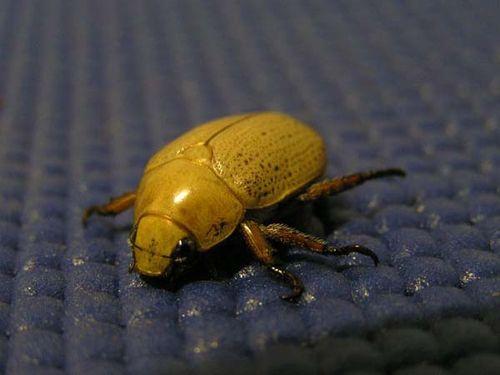 Christmas Beetle | Anoplognathus pallidicollis photo