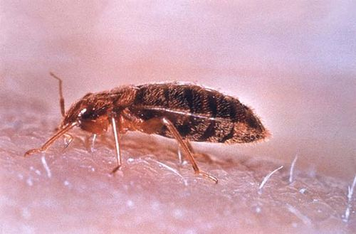 Bed bug | Cimex lectularius photo
