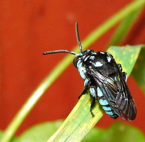 Neon Cuckoo Bee   Thyreus nitidulus photo