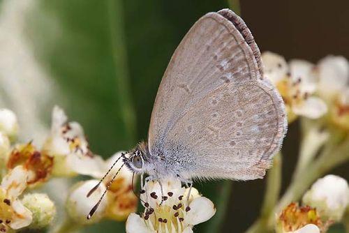 Common Grass Blue | Zizina labradus photo