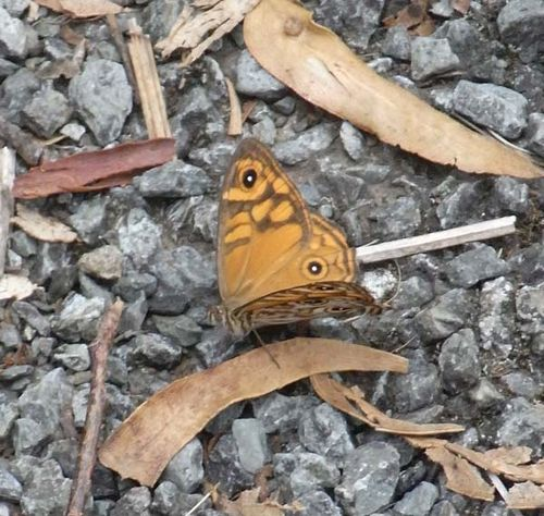 Common Brown Butterfly | Heteronympha merope photo