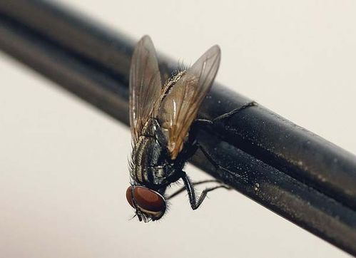 Housefly | Musca domestica photo