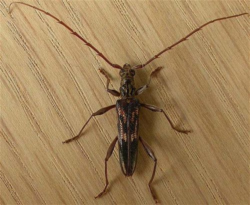 Round-headed Wood Borer | Coptocercus rubripes photo