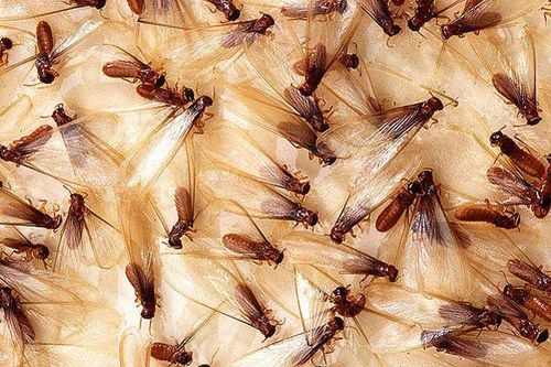 Subterranean Termite | Coptotermes frenchi photo