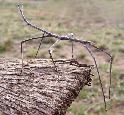 Stick Insect | Ctenomorpha chronus photo